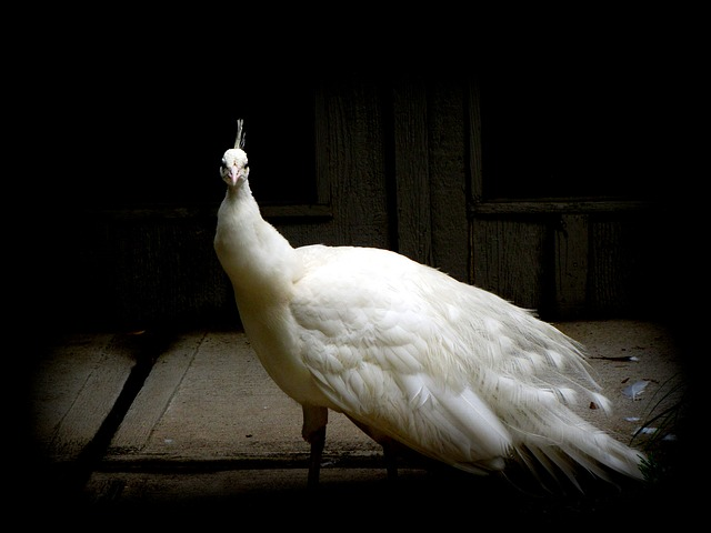 nature-animale-oiseau-paon_121-52626